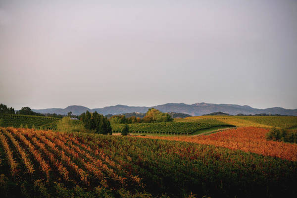Napa Valley Photograph - Vineyards In The Fall by Lianne Milton