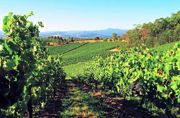 Winemaking Photograph - Vineyards In The Yarra Valley by Australian Scenics