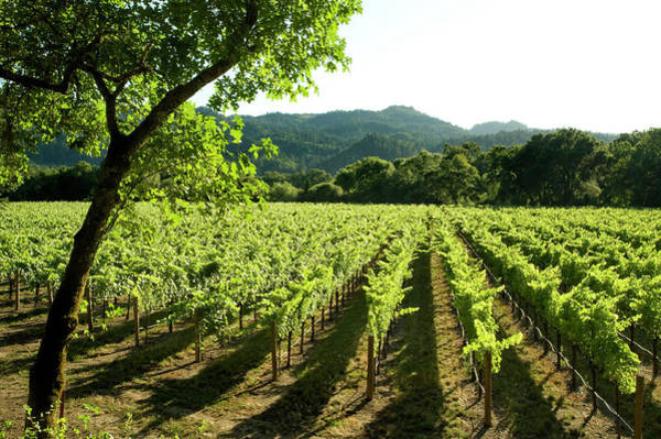 Napa Valley Photograph - Vineyards, Napa Valley, California by Alacatr