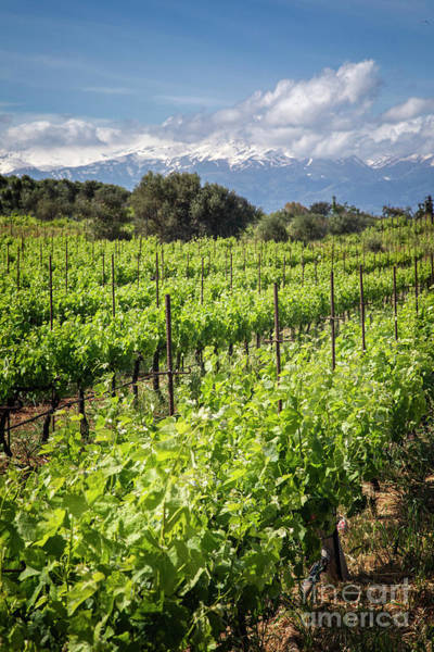 Photograph - Vineyards Of Crete by Scott Kemper