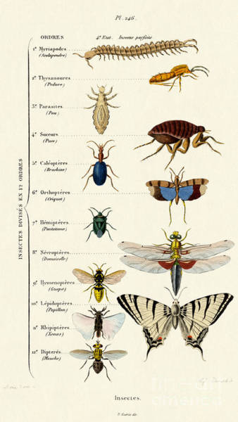 Wall Art - Drawing - Vintage Insects Print by French School
