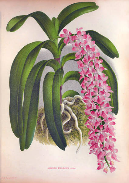 Painting - Vintage Lilac Orchid Aerides Fieldingi Lindenia Collection by Jean Jules Linden