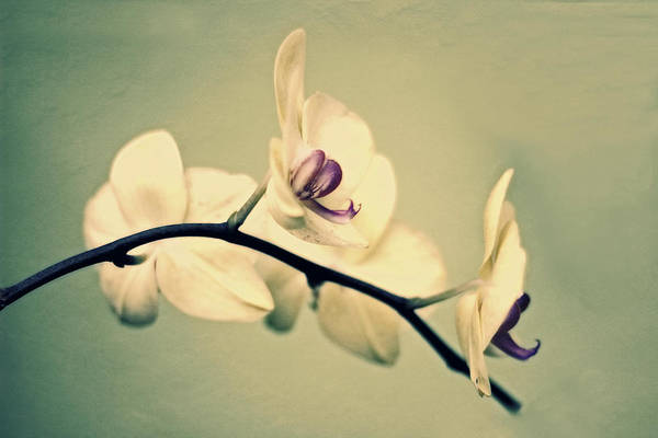 Photograph - Vintage Orchid by Jessica Jenney