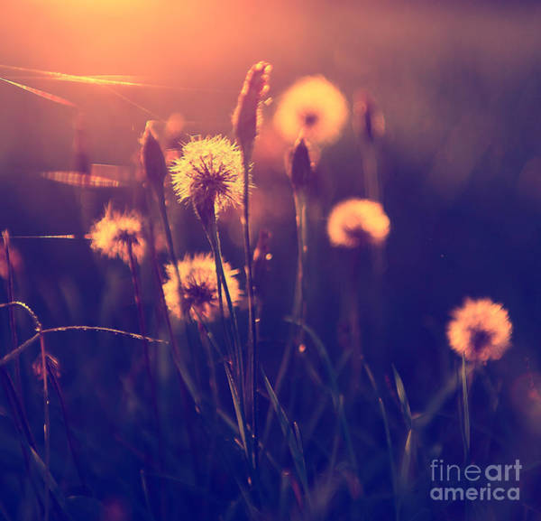 Wall Art - Photograph - Vintage Photo Of Dandelion Field In by Dark Moon Pictures