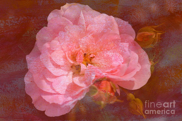 Photograph - Vintage Pink And Textured Rose by Joy Watson