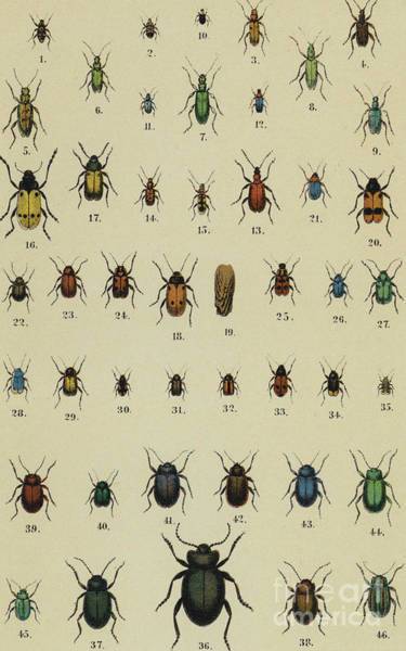 Wall Art - Drawing - Vintage Print Of Assorted Beetles Circa Nineteenth Century by German School