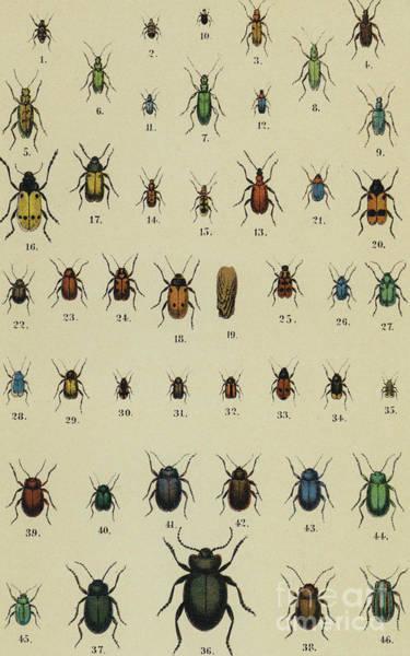 Wall Art - Drawing - Vintage Print Of Assorted Beetles Circa Nineteenth Century by German School