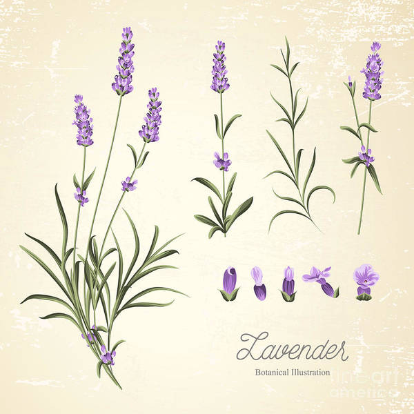 Wall Art - Digital Art - Vintage Set Of Lavender Flowers by Kotkoa
