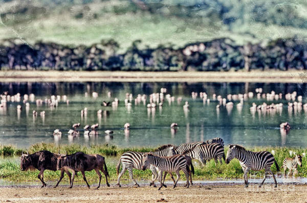 Wall Art - Photograph - Vintage Style Image Of Zebras And by Travel Stock