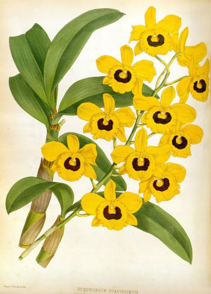 Painting - Vintage Dendrobrium Suavissimum Orchids Lindenia Collection by Jean Jules Linden