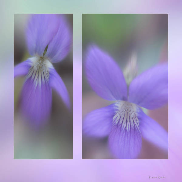 Photograph - Birds Foot Violet by Karen Rispin
