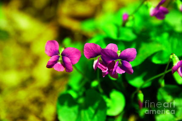 Wall Art - Photograph - Violets by Jeff Swan