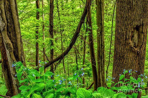 Photograph - Virginia Bluebells And Tree Trunks by Thomas R Fletcher