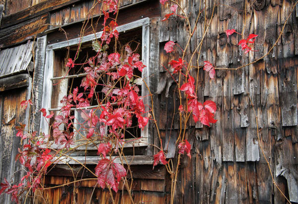 Photograph - Virginia Creeper by T-S Fine Art Landscape Photography