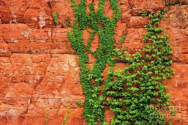 Photograph - Virginia Creeper  by Imagery by Charly