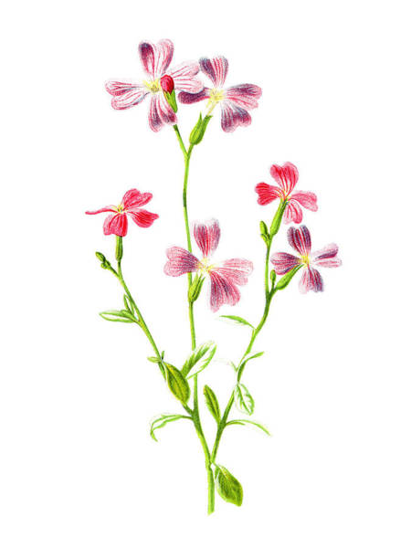 Mixed Media - Virginian Stock Flower by Naxart Studio