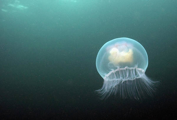Moon Jellyfish Photograph - Visitors Enjoy The Wildlife At The by Dan Kitwood