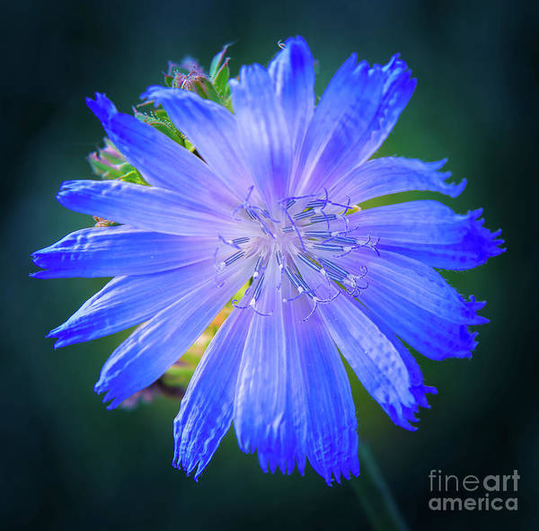 Vivid Blue Chicory Blossom Close-up With Its Delicate Petals And Stamen Art Print