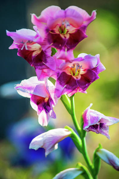Wall Art - Photograph - Vivid Gladiolas by Mary Ann Artz