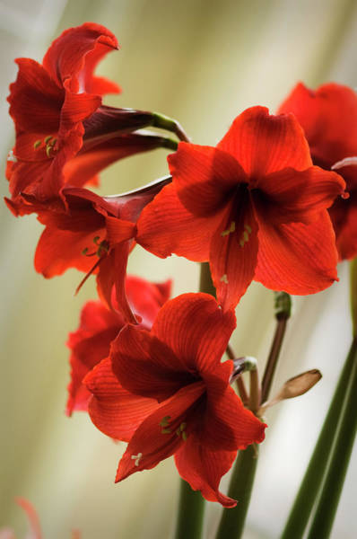Rockville Photograph - Vivid Red Amaryllis Bulb In Full Bloom by Maria Mosolova