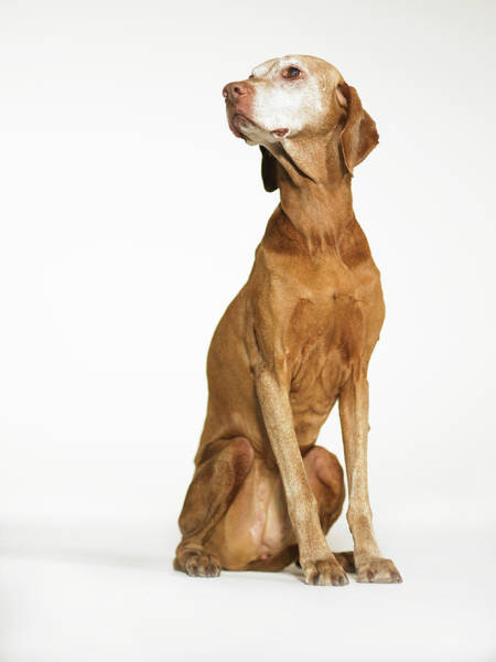Look Away Photograph - Vizsla Sitting And Looking Away by Ryan Mcvay