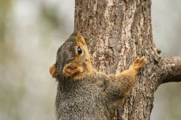 Photograph - Vlimb High Young Squirrel by Don Northup