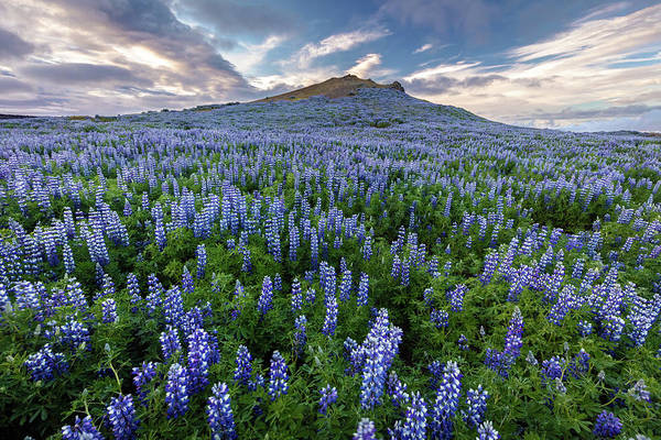 Photograph - Volcano Lupines by Pierre Leclerc Photography