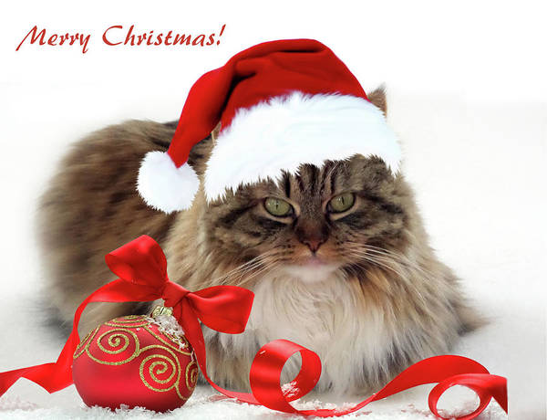 Long Hair Cat Photograph - Merry Christmas Cat by Jessica Jenney