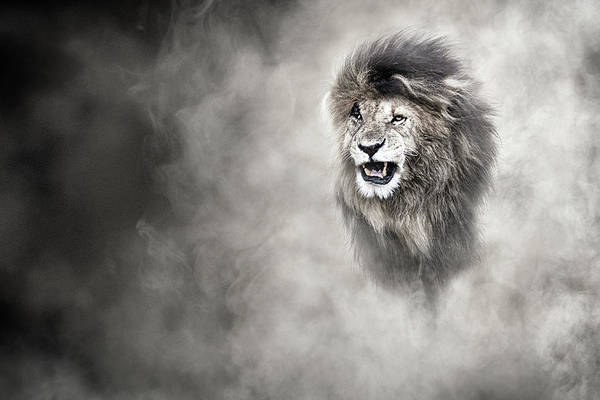 Wall Art - Photograph - Vulnerable African Lion In The Dust by Susan Schmitz