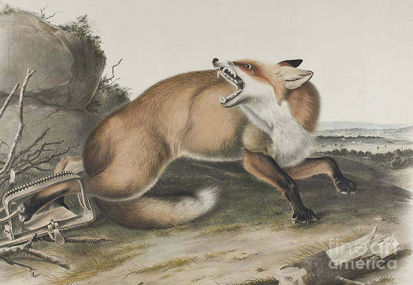 Wall Art - Drawing - Vulpes Fulvus, American Red Fox by John James Audubon
