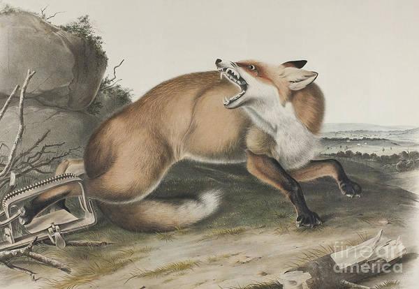 Wall Art - Drawing - Vulpes Fulvus, American Red Fox by John James Audubon
