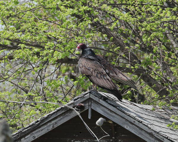 Photograph - Vulture 7200 by John Moyer