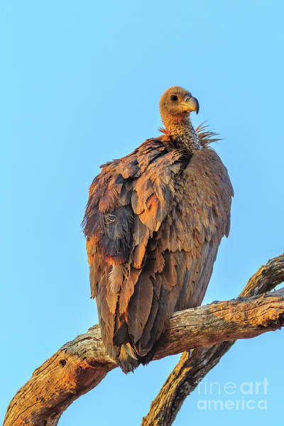 Photograph - Vulture On A Tree by Benny Marty