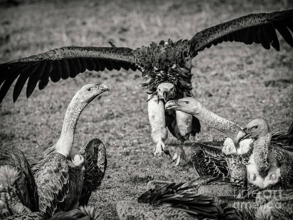 Photograph - Vultures by Robin Zygelman