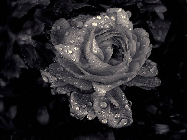 Photograph - Raindrops On Roses by Jessica Jenney