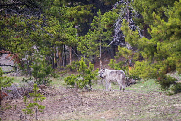 Photograph - W755 by Joshua Able's Wildlife
