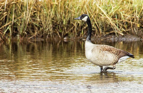 Photograph - Wading Canada Goose by Bob Decker