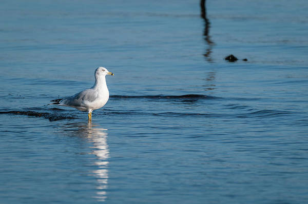 Photograph - Wading Ring-billed Gull by Todd Henson