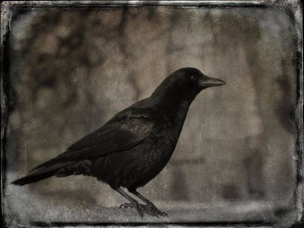 Wall Art - Photograph - Waiting Crow by Gothicrow Images