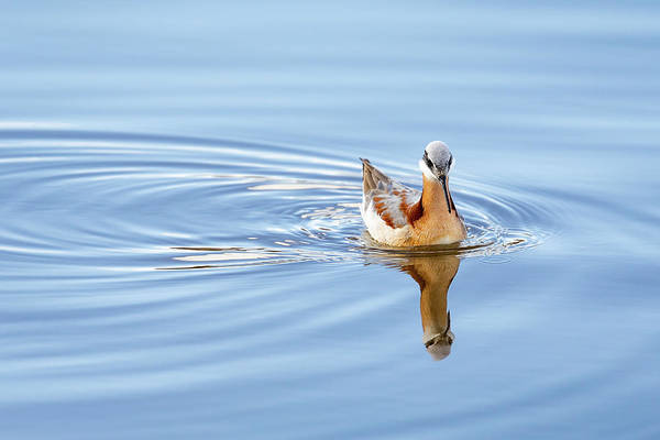 Wall Art - Photograph - Wake Of A Phalarope by Ann Skelton