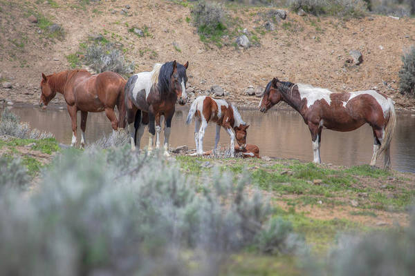 Wall Art - Photograph - Wake Up And Play With Me - South Steens Mustangs 01006 by Kristina Rinell