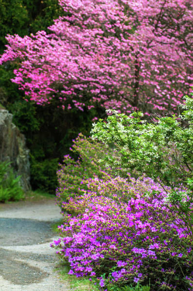 Wall Art - Photograph - Walk In Spring Eden. Dogwood And Azaleas by Jenny Rainbow