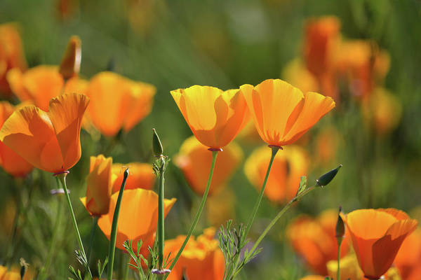 Photograph - Walker Canyon California Poppies by Kyle Hanson