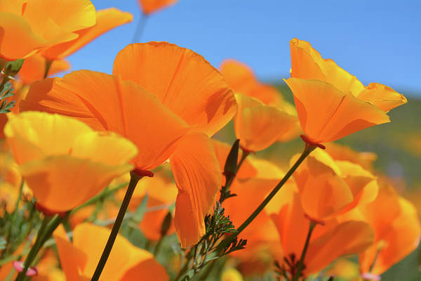 Photograph - Walker Canyon Poppies by Kyle Hanson