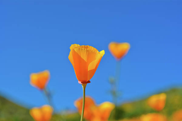 Photograph - Walker Canyon Poppy by Kyle Hanson