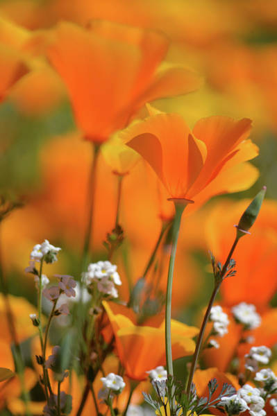 Photograph - Walker Canyon Poppy Portrait by Kyle Hanson