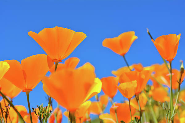 Photograph - Walker Canyon Poppy Sky by Kyle Hanson
