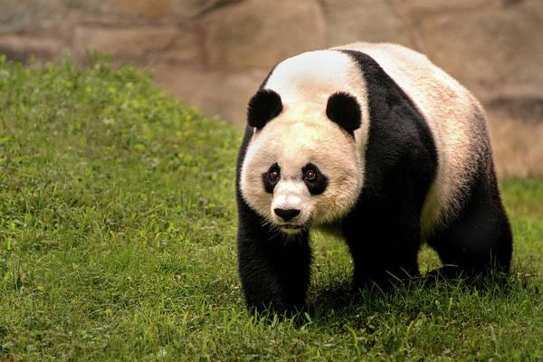 Photograph - Walking Panda by Don Johnson