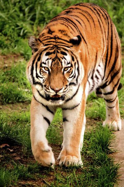 Photograph - Walking Tiger by Don Johnson