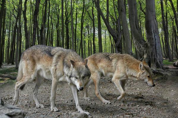 Wall Art - Photograph - Walking Wolves by Joachim G Pinkawa
